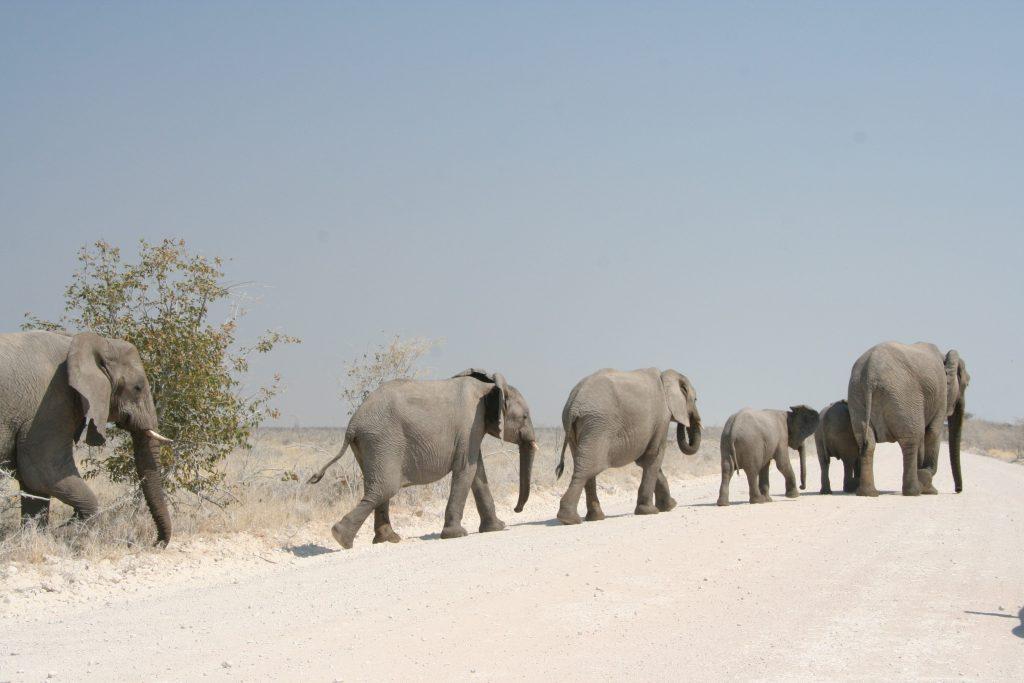 On the road in Namiba - passaggio di elefanti all'Etosha National Park
