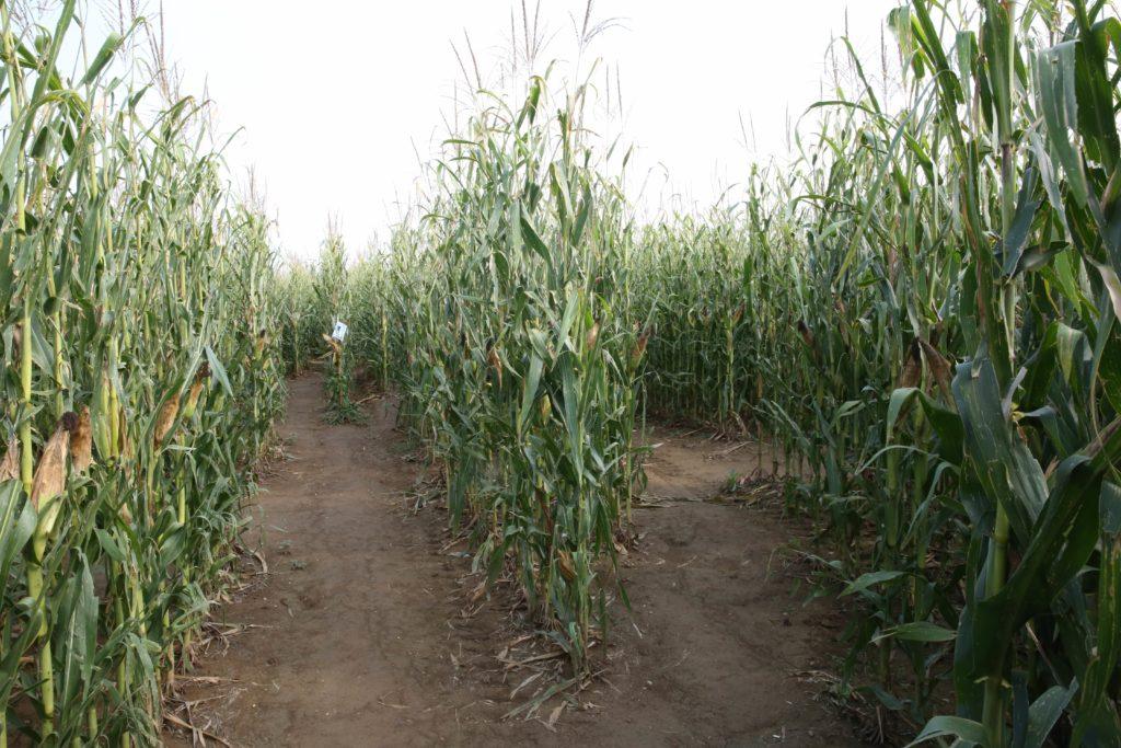 labirinto nel mais